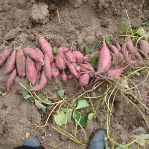 サツマイモ 試し掘り