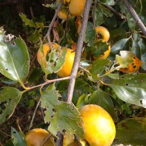 秋深まり、柿収穫