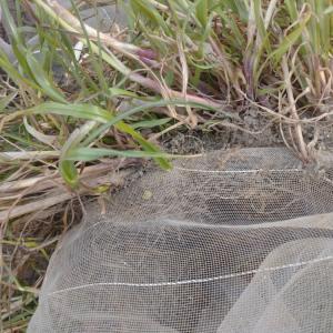 防虫ネットに絡む雑草