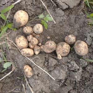 やっとジャガイモが掘れました。