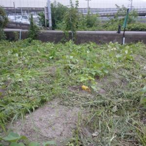 サツマイモの草刈り