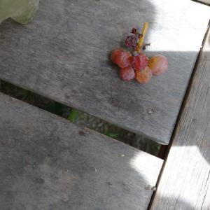 休憩小屋前のブドウ