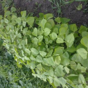 黒大豆と大納言小豆の追加蒔き