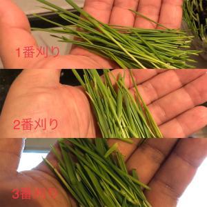 DAISOで始める『ウサギサラダ』3番刈り明らかに柔らかそうな葉のみになりました!