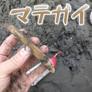 マテガイは干潟の美味しい遊び相手!
