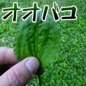 オオバコは葉っぱの形をしたピーマンだ