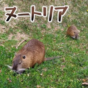 ヌートリアを食べてみた。ネズミ年だからね