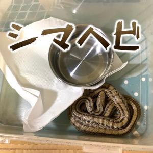 シマヘビはヘビの中で一番うまいらしいので誘拐した