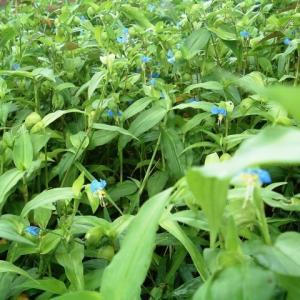 ツユクサほど食べやすい野草ってあります?いやない