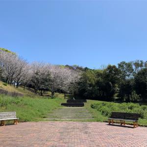 錦江湾公園で花見!!もうすでに満開、行くなら早めに(^▽^)/