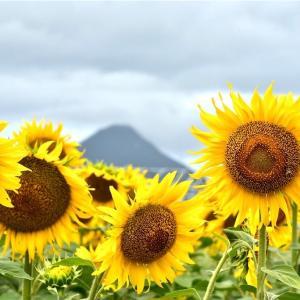 夏と言えばひまわり!鹿児島の映えるスポット紹介!! 開聞岳とひまわり