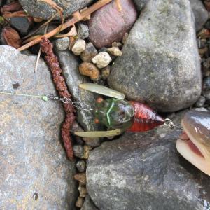 セミのルアーで屈斜路湖の釣り
