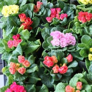 【小さなお花屋】可愛いポット苗はいりました