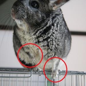 【チンチラ飼育】チンチラは意外にジャンプ力がある【実体験】