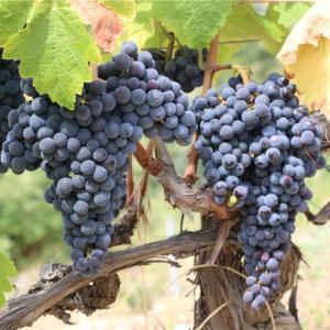 ブドウの品種たったこれだけ??初心者が覚えるべき6つの品種