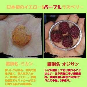 国産野生木苺を用いた日本初のイエロー&パープルラズベリー