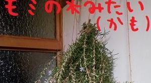 2019/11/11 Mon 雨のち晴など ローズマリー臭