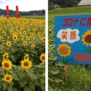 2020/08/11 Tue 晴のち雨 下野田のひまわり