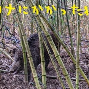 2021/01/23 Sat 雨 イノシシが来た