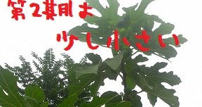 2019/08/18 Sun 曇 第二次イチジク収穫期