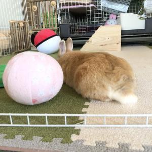 うさぎさん用のボール大好きです それの何がハロを刺激してるのかな