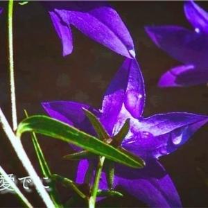 【刀ステ】花に泣いた