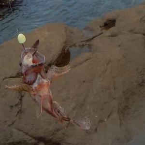 カサゴのお刺身はめちゃウマです【長崎県佐世保市根魚釣行】