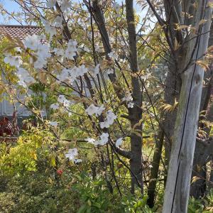 我が家の山桜
