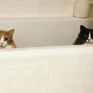 猫ズの体重測定と成長予測⑤生後614日目 兄弟の分かれ道。