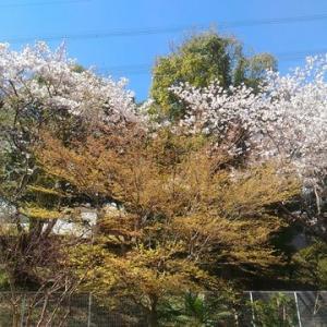 桜の美しさの裏に