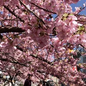 三浦海岸の河津桜、ソレイユの丘、すかなごっそ