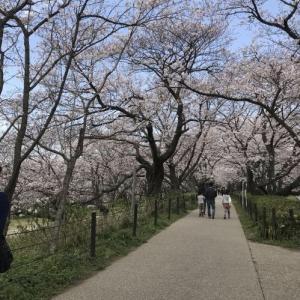 権現堂公園の桜堤から始まる桜三昧