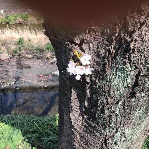 桜はまだかな🌸