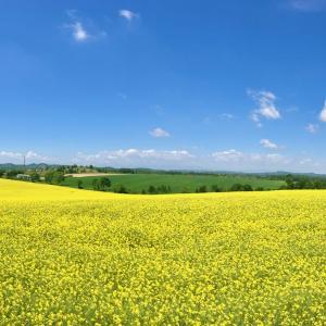 「丘陵一面の黄色い絨毯と牧場をめぐる安平・追分ウォーク (12.0km)」〜JRヘルシーウォーキング2019〜