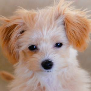 犬の白内障にオススメなドッグフードランキング!正しい選び方
