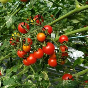 【おいしいトマトを自分で収穫!】いんどう・ウォーター・ファームでミニトマトの収穫体験をしてきました(木更津市 下内橋)