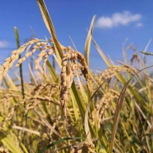実家は農家なので稲刈りしてきました。みんなお米を美味しく食べようぜ