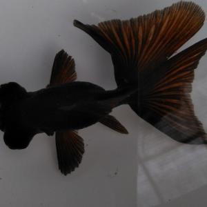 中国黒蝶尾