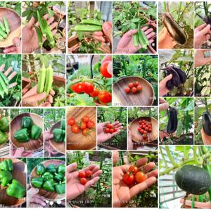 夏野菜の収穫量、最終結果報告!