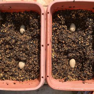 ジャガイモの土づくりと植え付け
