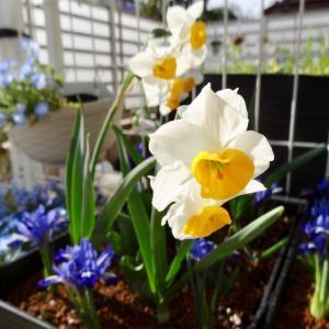 タキイさんの球根の寄せ植え鉢が開花続々!