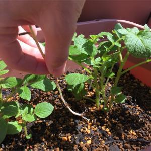 ジャガイモの芽かきと増し土と追肥