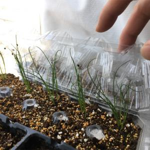 大葉・葉ネギ・マリーゴールドの鉢上げとほうれん草の種まき