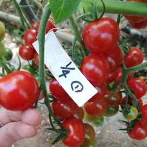 収穫日予測の結果発表!!〜あつみちゃんトマト〜