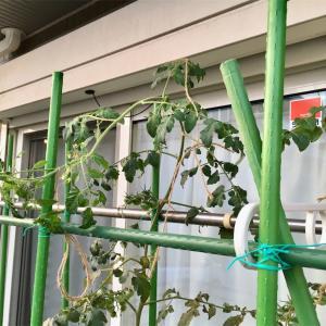 ミニトマトの摘芯とレジナの撤収