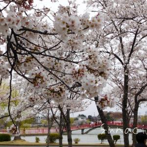 日本最古級のソメイヨシノ✨福島県郡山市 開成山公園と開成山大神宮の桜2019✨