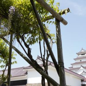 【写真で観光】5月の会津鶴ヶ城と藤棚を撮影。道中若松市内の藤棚巡りもしてみた。