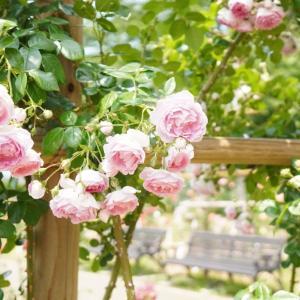 初夏の郡山市開成山公園、薔薇園で写真撮影してきました..!