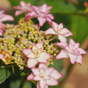 紫陽花の季節ですね☔
