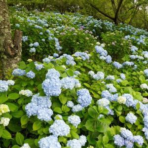 会津屈指の紫陽花スポット、猪苗代の亀ヶ城城址公園で美しい紫陽花を撮影してきました..!